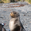 small Antarctic Fur Seal on the beach at Prion Island - this one just narrowly escaped a Leopard Seal in hot pursuit