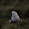 yawning Wandering Albatross chick at Prion Island