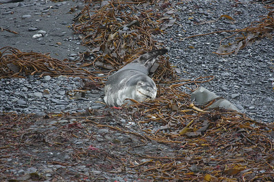First day on South Georgia ... sleeping Leopard Seal at Undine Harbor