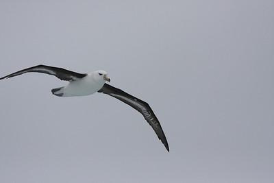 young Black-browed Albatross