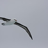 young Black-browed Albatross