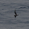 Kerguelen Petrel - total count for the day 10/31: 44! most of them flying north