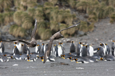 ever present Subantarctic Skuas patrolling the King Penguin colony