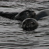 at Larson Bay off Drygalski Fiord, a mother and pup Weddell Seal, from this northernmost, isolated colony of this Antarctic species