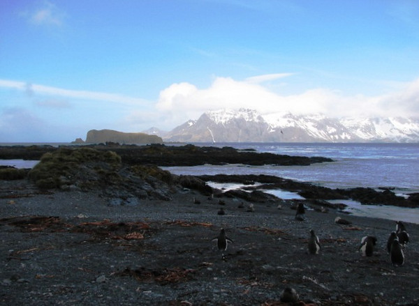 Prion Island in the Bay of Isles ... Gentoo Penguins on the beach