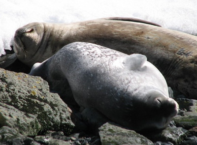 sunning mother and pup Weddell Seals