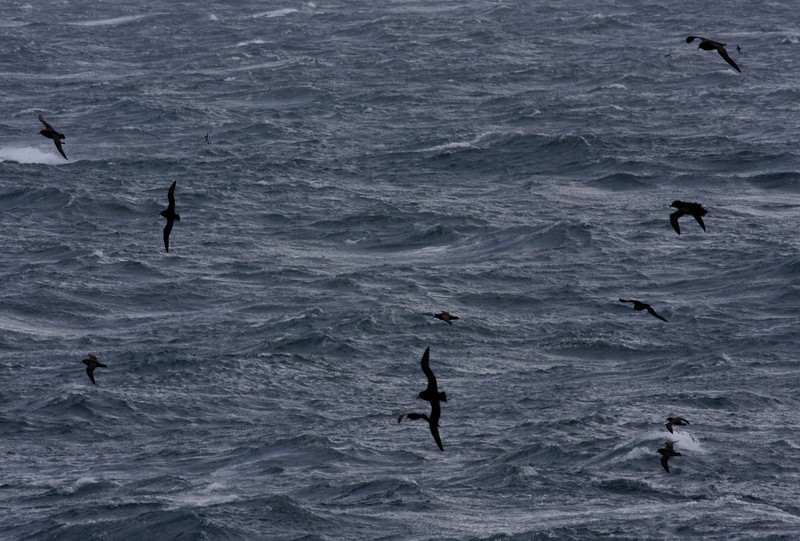 a full day of sea-watching off the west coast of South Georgia ... masses of White-chinned Petrels