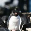 Rockhopper Penguin colony at Sea Lion Island