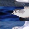 Prions, from the top: Antarctic, Slender-billed and Fairy