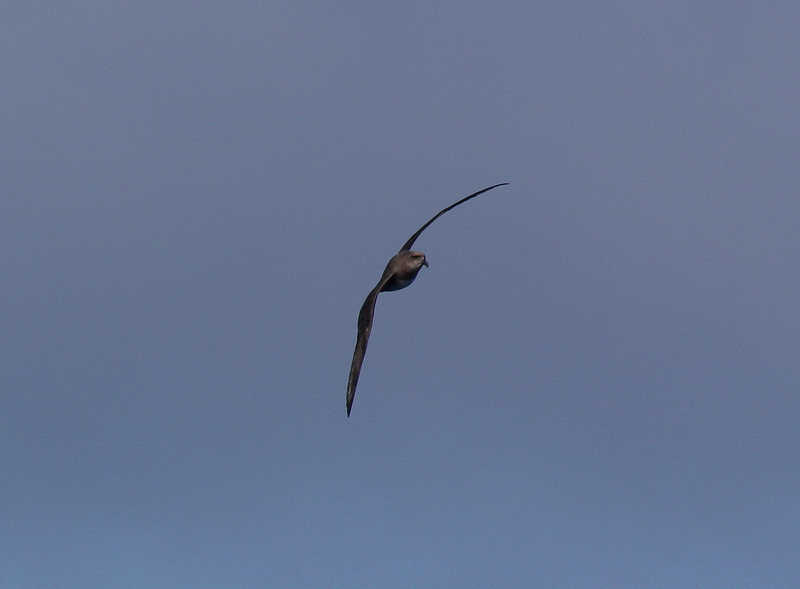 Atlantic Petrel; by trip's end we had logged 103 birds over 7 days at sea