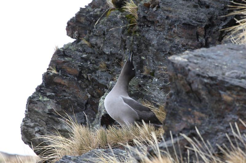 bugling Light-mantled Sooty Albatross
