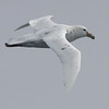 """White Nelly"" - rare white morph of the Southern Giant Petrel"