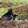 Magellanic Oystercatcher and chick