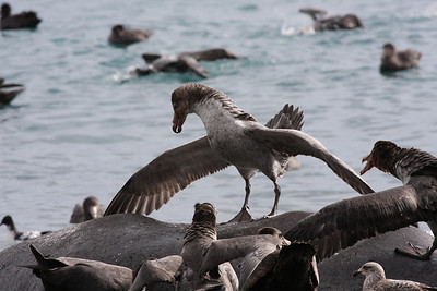 Northern Giant Petrel lording it over an elephant seal carcass