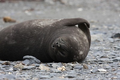 lots of newborn Southern Elephant Seal weaners on the beach