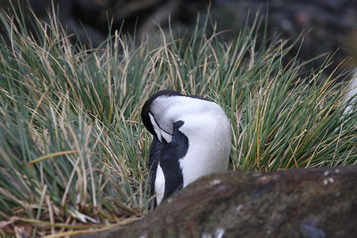 lone Chinstrap Penguin at Undine (only one of the trip as we were unable to land at Cooper Bay)