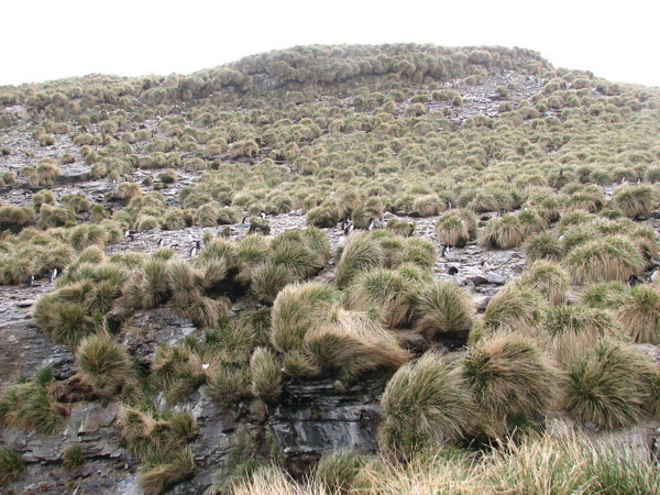 Macaroni Penguin colony at Rookery Bay