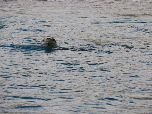 "cue music from ""Jaws"" - approaching Leopard Seal"