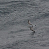 further days at sea ... Antarctic Prion
