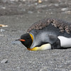 many adult King Penguins were molting, spending ~1 month onshore to complete their catastrophic molt