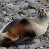 Antarctic Fur Seal at Gold Harbor
