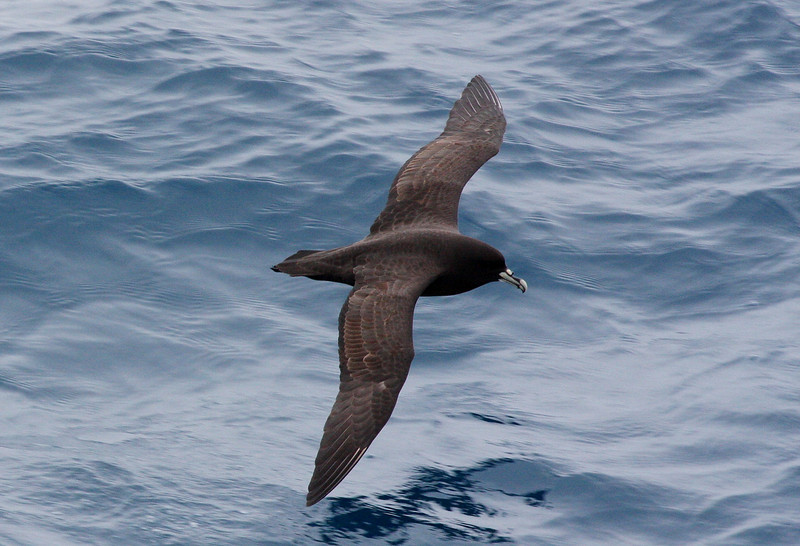 White-chinned Petrel offshore Royal Bay