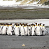 King Penguins on their way down to the water