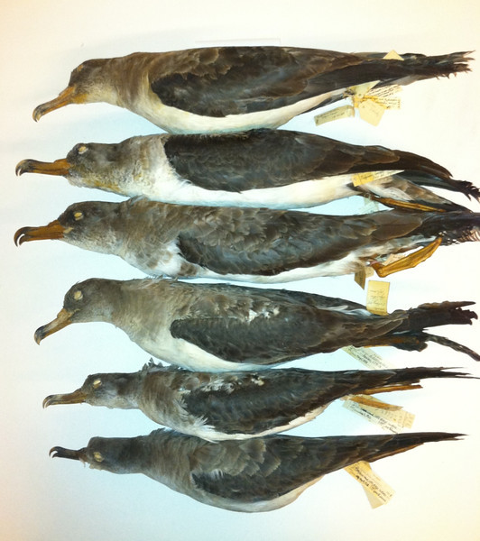 Calonectris shearwaters: top three borealis Cory's (June/July, Azores), fourth from top diomedea Cory's (May, Spain), bottom two edwardsii Cape Verde Shearwater (July and May, Cape Verde Is), ROM
