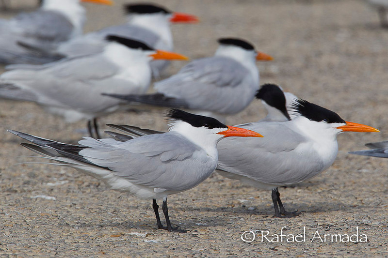 American Royal Tern (Sterna maxima maxima). Padre Island (Texas, USA), March 2012.<br /> Esp: Charrán real<br /> Cat: Xatrac reial