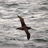 Black-footed Albatross off Santa Barbara 21 July 2007