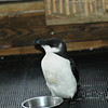 Razorbill in rehab Frisco 15 February 2009