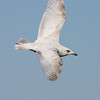 Kumlien's Gull, off Hatteras 19 February 2011