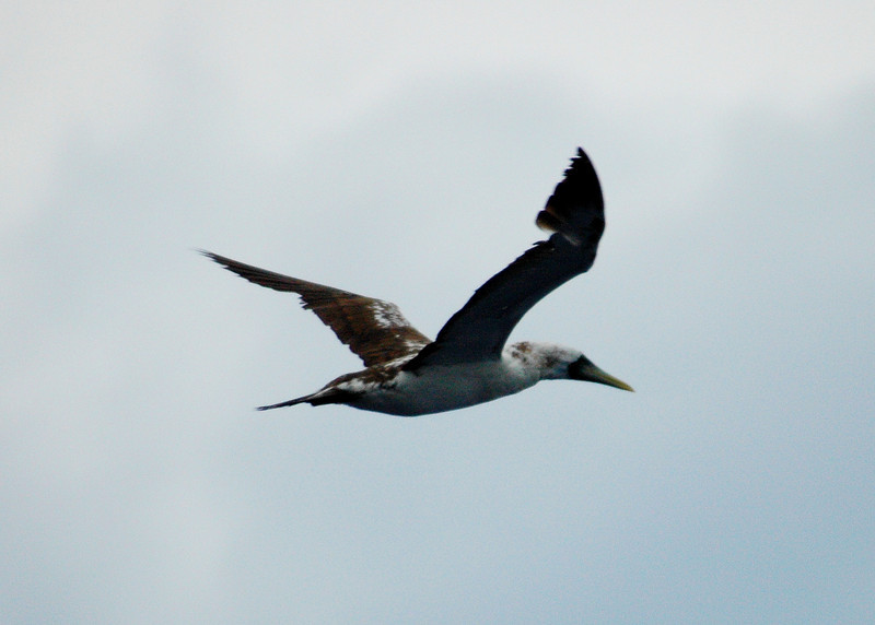 subadult Masked Booby, off Hatteras, 24 May 2008