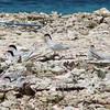 Roseate Terns, Barbareta Honduras, 15 July 2006