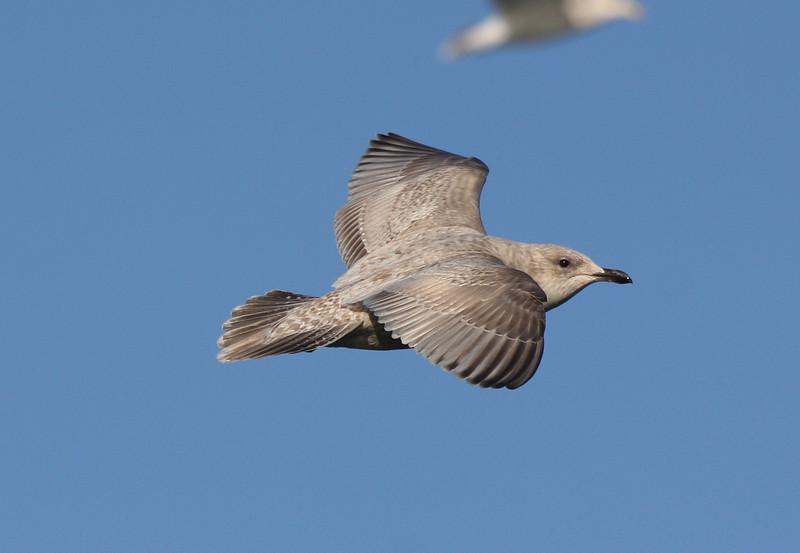 darker Kumlien's Gull, off Hatteras 20 February 2011