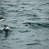 Razorbills off Hatteras 14 February 2009