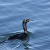 Pelagic Cormorant, Port Angeles, Washington 10 Aug 2010