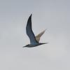 subadult Bridled Tern off Hatteras 30 August 2009
