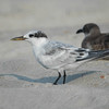 juvenile Sandwich Tern, 16 August 2007, Carolina Beach NC
