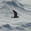 Band-rumped Storm-petrel off Hatteras 24 May 2008