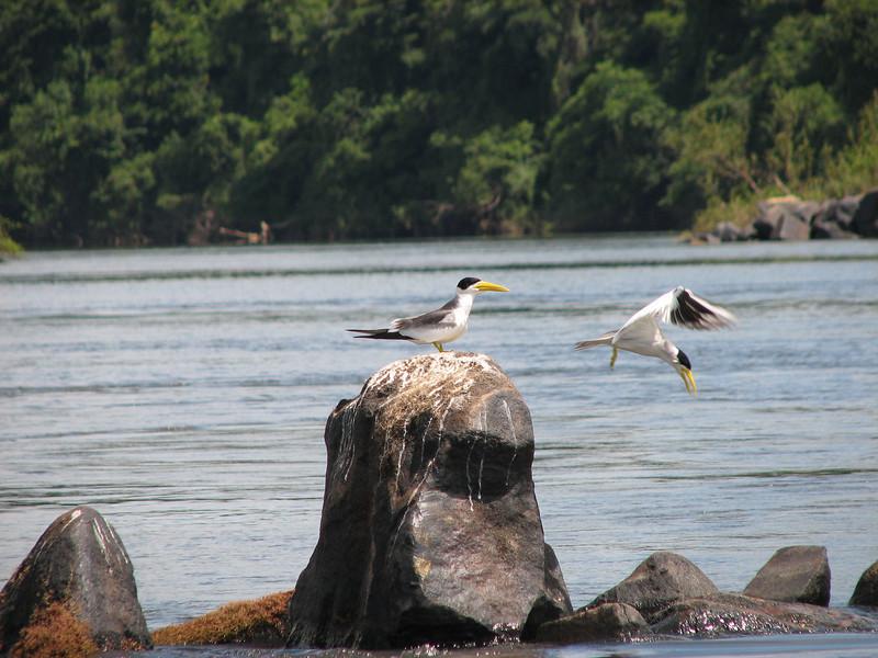 Large-billed Terns Essequibo River Guyana 8 November 2008