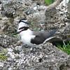 Bridled Terns, Raggedy Cay Utila Honduras, 11 July 2006