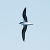 Fea's Petrel off Manteo 25 May 2008