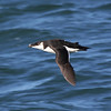 Razorbill, off Hatteras 19 February 2011