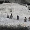 Humboldt Penguins, Isla Cachagua, Chile, 13 March 2012