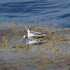 Red-necked Phalaropes off Hatteras 30 August 2009