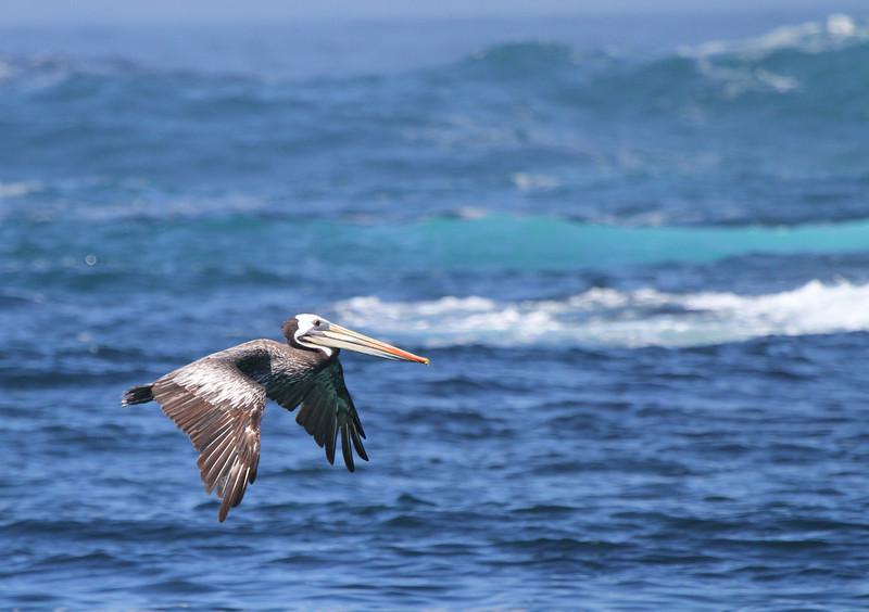 Peruvian Pelican, Isla Cachagua, Chile, 13 March 2012