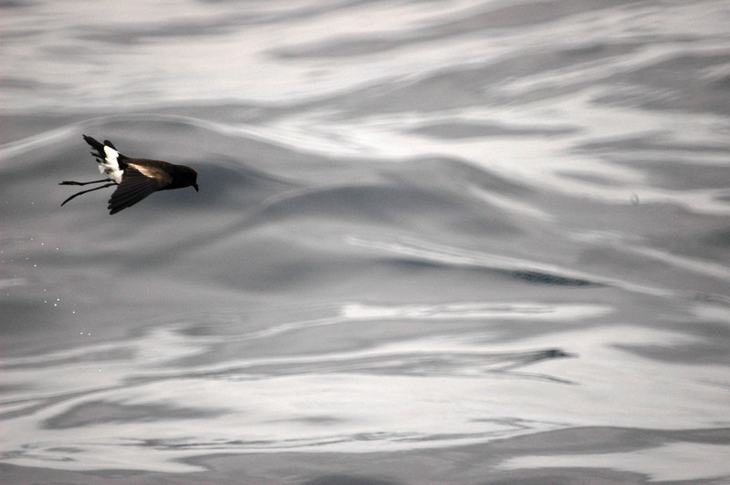 Wilson's Storm-petrel off Manteo 11 August 2007