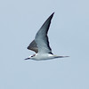 Bridled Tern off Manteo 8 August 2008