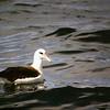 Laysan Albatross at Cordell Bank 23 August 2004